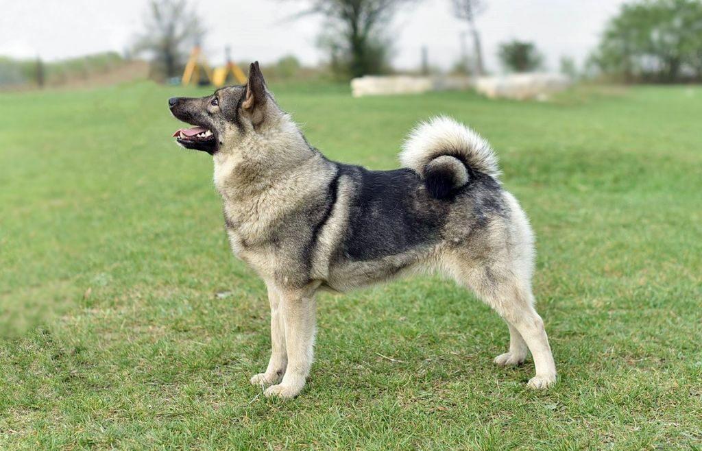 Elkhund szary