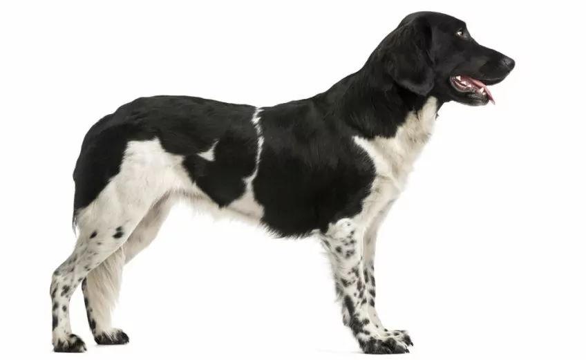 Wyżeł fryzyjski stabyhoun