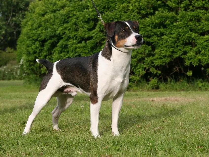 Duńsko-Szwedzki Pies Wiejski