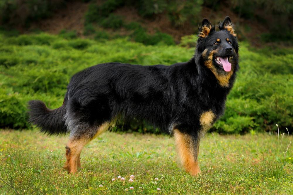 Pies chodski